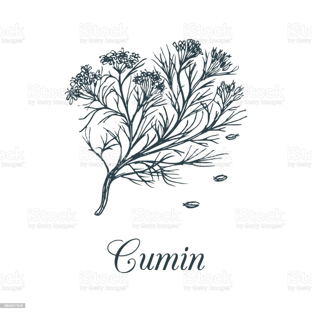 Vector cumin with seeds illustration. Culinary aromatic spice sketch. Botanical drawing of caraway in engraving style. vector art illustration