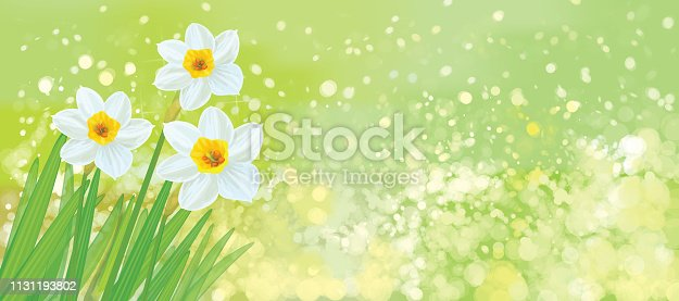 Vector daffodil flowers on spring background.