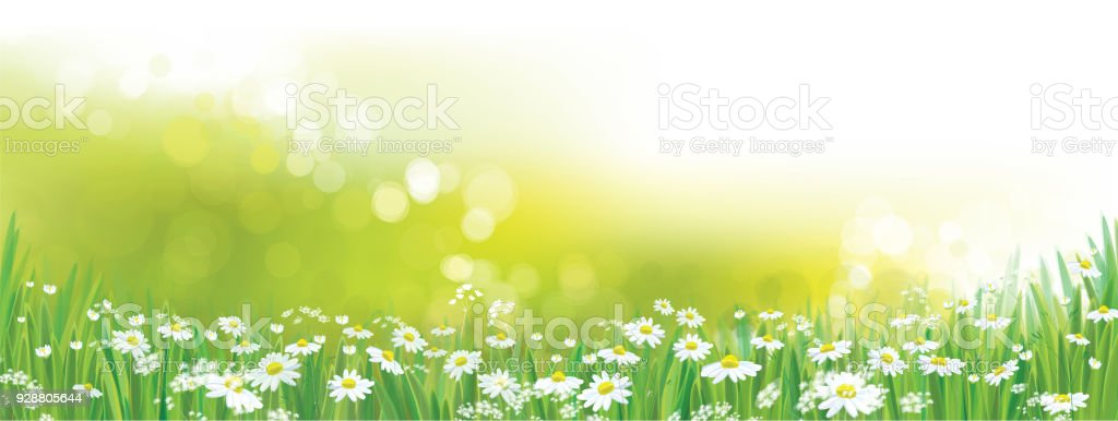 Vector  daisy  flowers field.