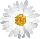 Realistic vector illustration of daisy. Arrange the petals according to desire to create innumerable variations of this flower.