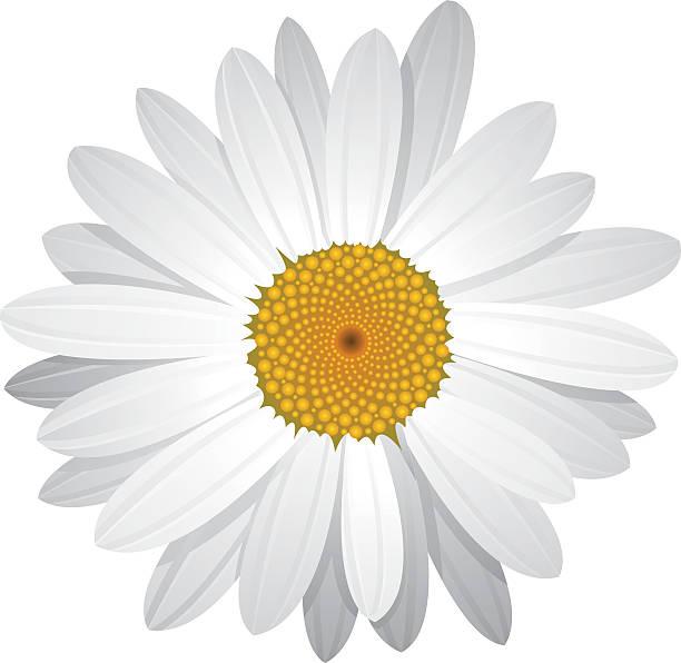 вектор daisy с подвижными лепестками - нивяник stock illustrations