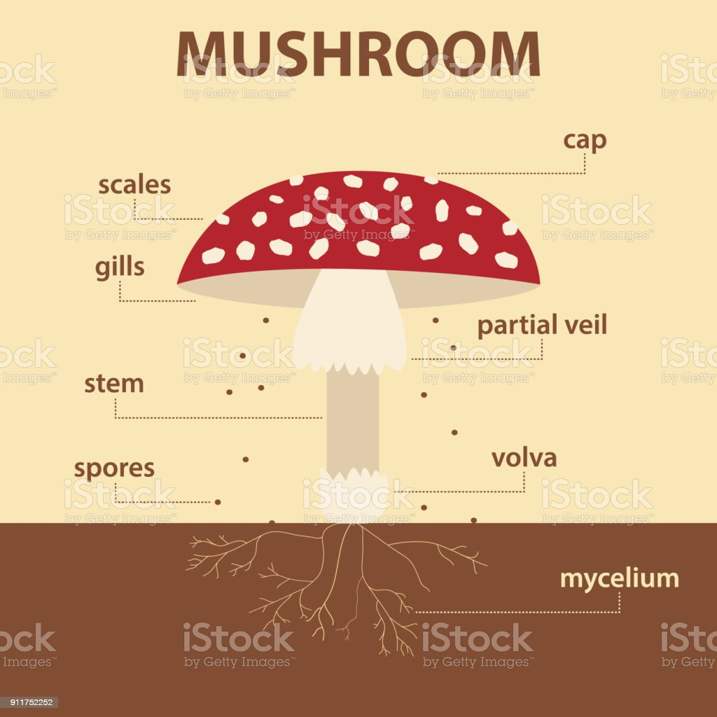 vector diagram showing parts of mushroom whole plant - agricultural infographic amanita muscaria scheme vector art illustration