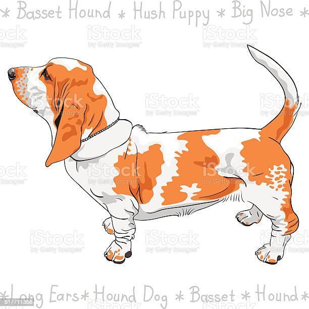 Vector dog basset hound breed vector id517711356?b=1&k=6&m=517711356&s=612x612&h=w7zrjv9e5irmbzylgetemp04azuxtyaur tdnajlyvq=