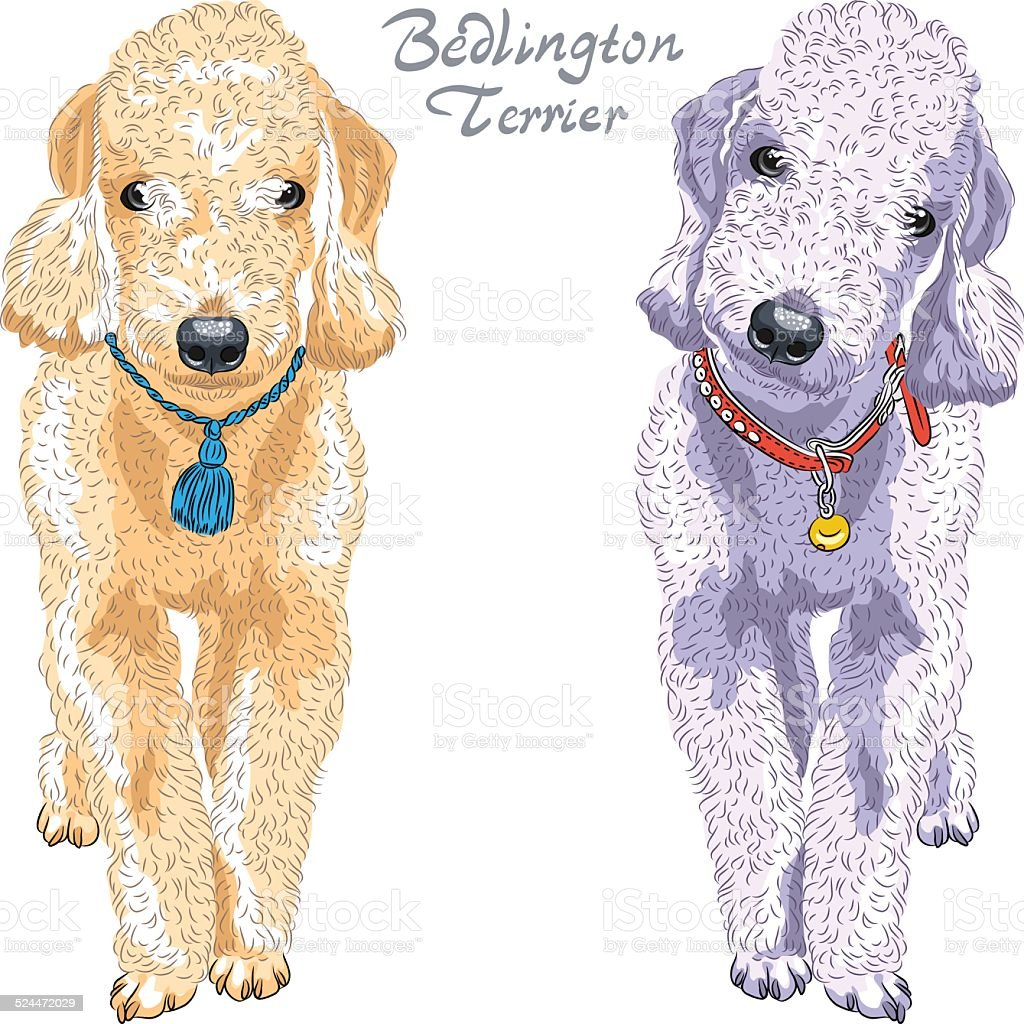 Vector Dog Bedlington Terrier Breed Stock Illustration ...