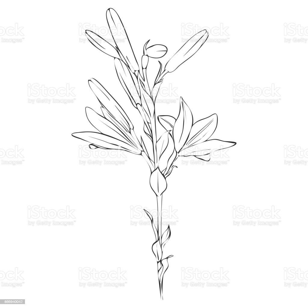 Vector Dessin Fleur De Lys Cliparts Vectoriels Et Plus D Images De