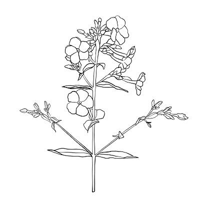 Vektor Ritning Blomma-vektorgrafik och fler bilder på Blomkorg - Blomdel