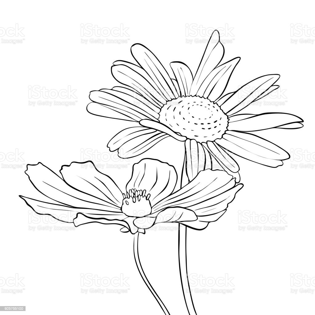 Vector Drawing Flowers Of Daisy Stock Vector Art More Images Of