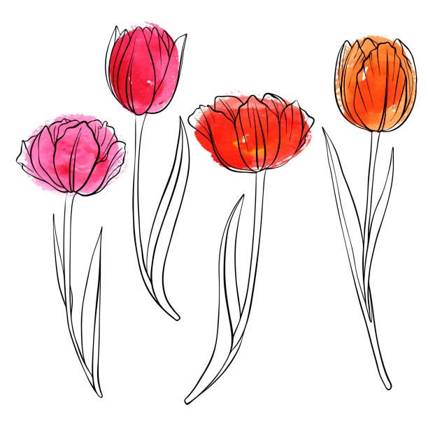 bildbanksillustrationer, clip art samt tecknat material och ikoner med vektorritning blommor av tulpan - tulpaner