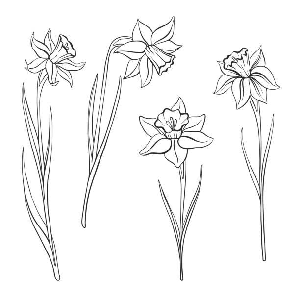 vector drawing flowers vector drawing flowers of narcissus, daffodils, isolated floral element, hand drawn illustration daffodil stock illustrations