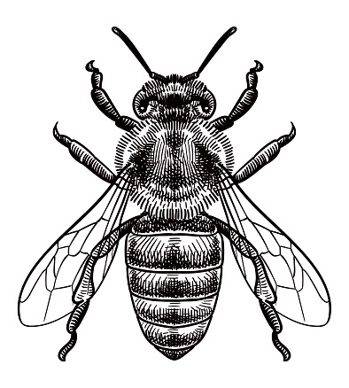 Vector drawing of a bee