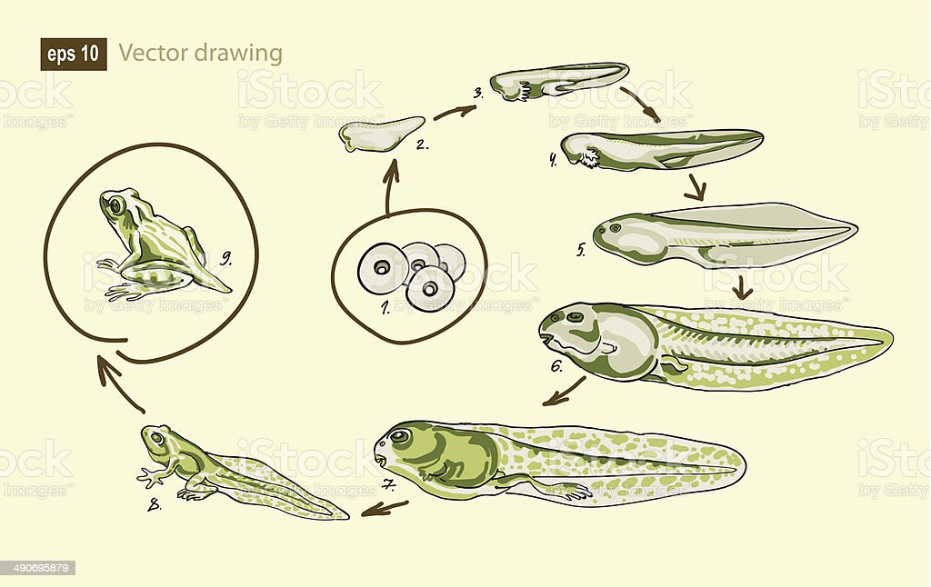 Vector drawing of a frog development vector art illustration