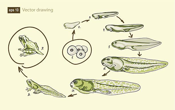 Vector drawing of a frog development vector art illustration