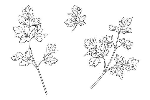 Simple three drawings of popular cooking herb - parsley