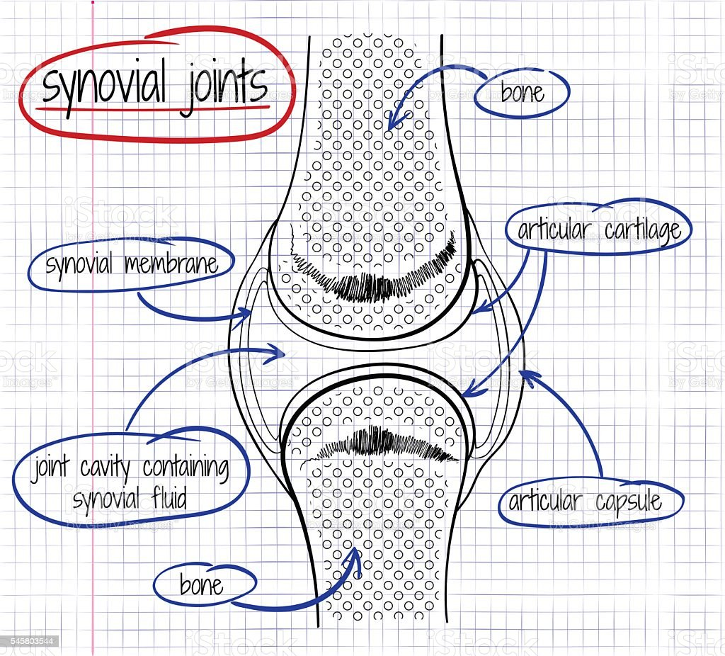 Vector Drawing Of A Synovial Joint Stock Vector Art & More Images of ...