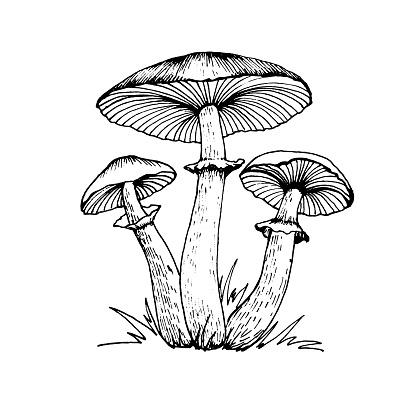 Vector drawing of amanita.