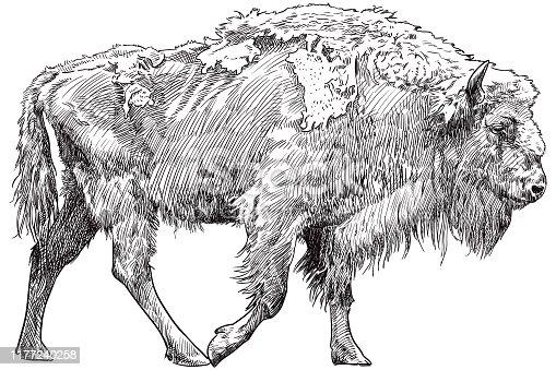 Vector illustration of walking European bison