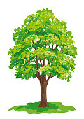Vector drawing of maple tree