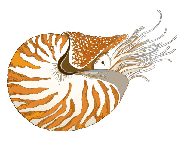 Vector drawing of Nautilus Pompilius or chambered nautilus in ornate striped shell isolated on white background. Vector drawing of Nautilus Pompilius or chambered nautilus in ornate striped shell isolated on white background. Striped sea mollusk in contour style for nautical summer design. nautilus shell stock illustrations