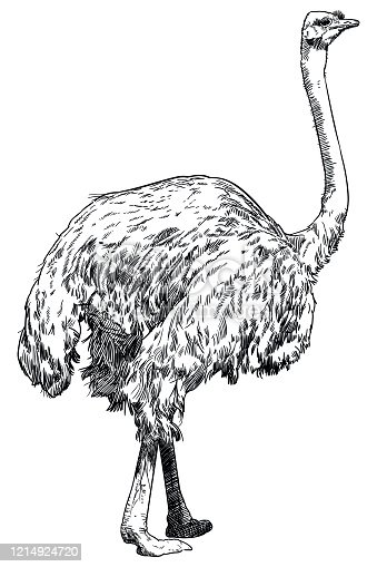 Old style illustration  of a standing ostrich