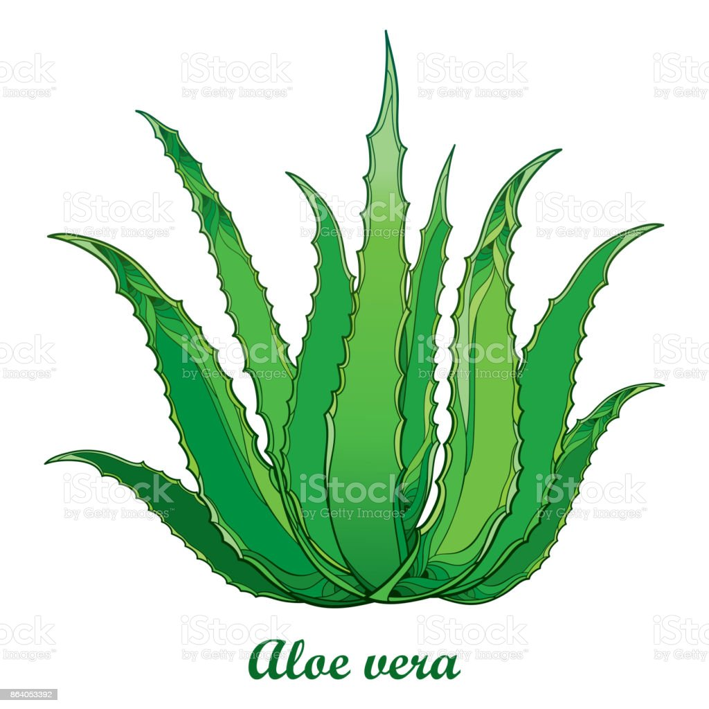 vector drawing of outline aloe vera or true aloe plant with fleshy