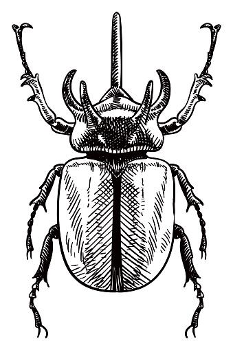 Vector drawing of rhinoceros beetle