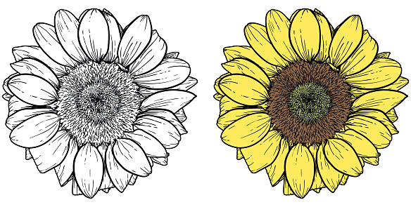 Vector drawing of sunflower in two versions, black and white and color