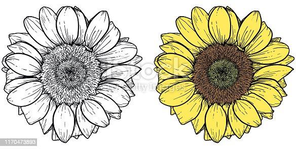 Classic style illustration of sunflower on white background