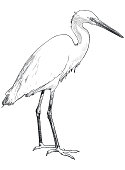 Illustration of standing heron