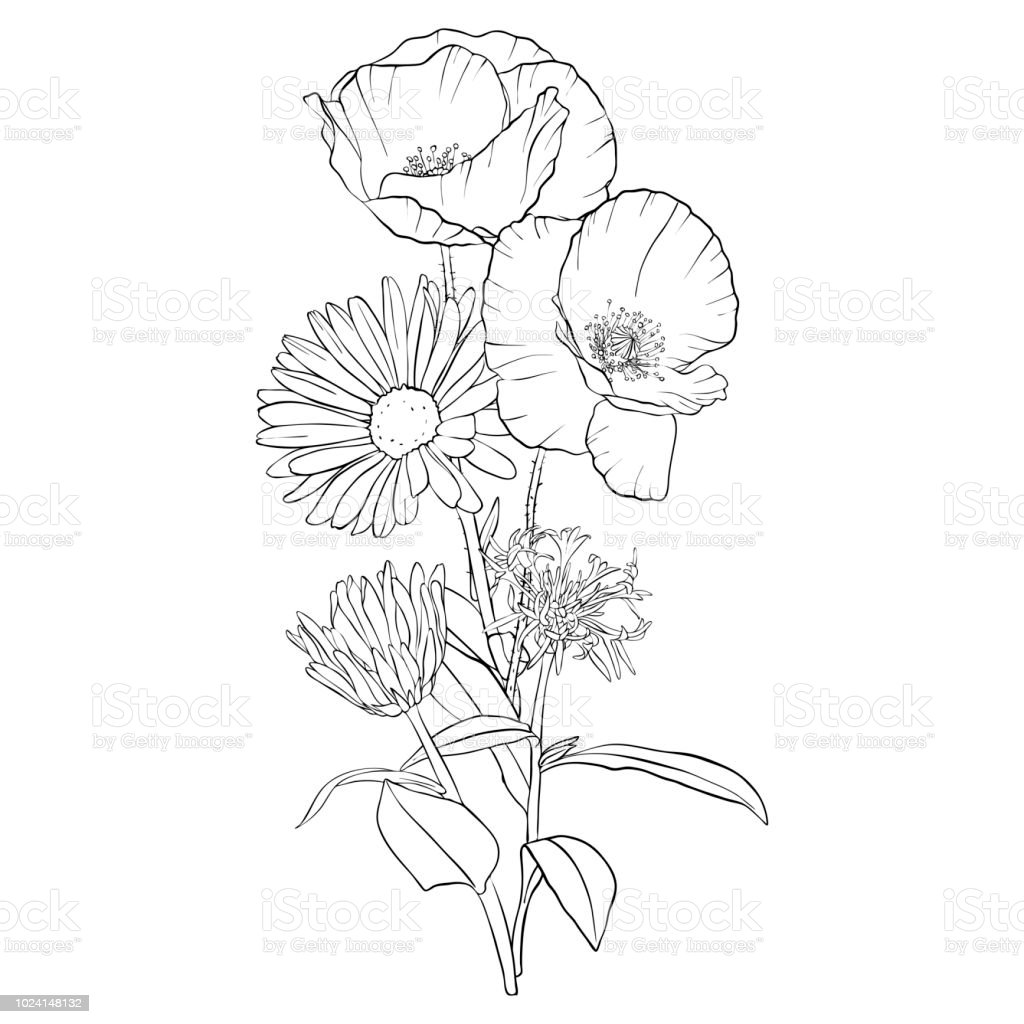 Vector Drawing Poppy Flowers Stock Vector Art More Images Of Art