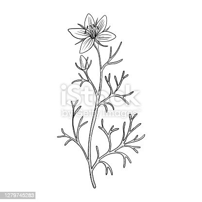 vector drawing wild rue , Peganum harmala , hand drawn illustration
