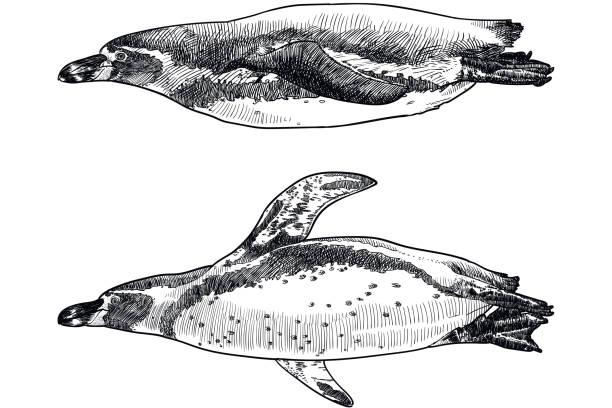 stockillustraties, clipart, cartoons en iconen met vectortekeningen van humboldt pinguins zwemmen. oude stijl illustratie - pinguins swimming
