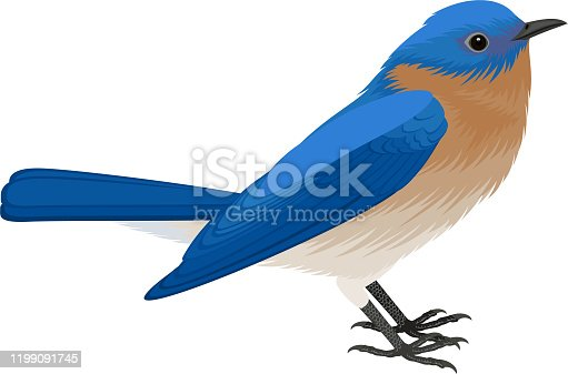 vector Eastern Bluebird (Sialia sialis)