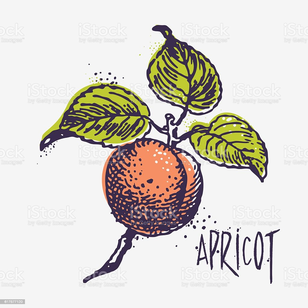 Vector engraving apricot with ink blots vector art illustration