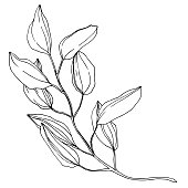 Vector Eucalyptus branch. Exotic tropical hawaiian summer. Palm beach tree leaves jungle botanical. Black and white engraved ink art. Isolated eucaliptus illustration element.