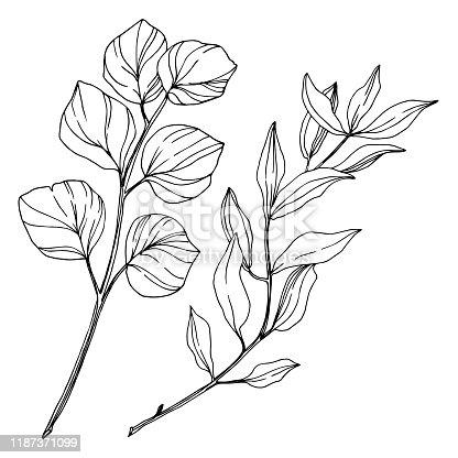 Vector Eucalyptus tree leaves jungle botanical. Black and white engraved ink art. Isolated eucalyptus illustration element on white background.