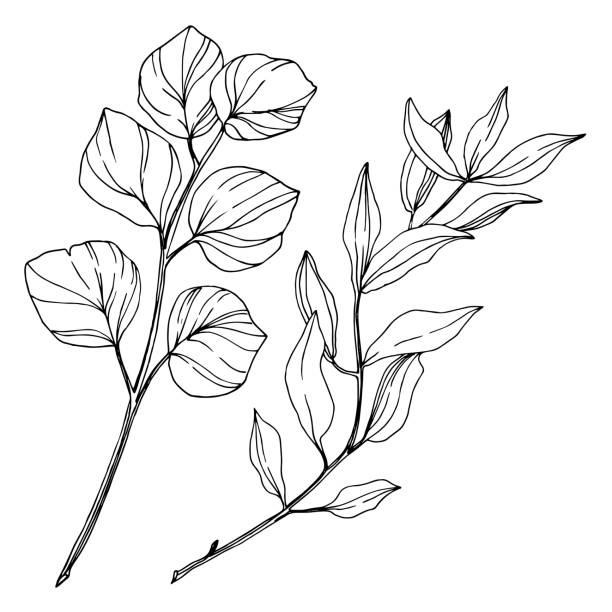 wektor eukaliptusa liści drzewa. czarno-biała grawerowana sztuka atramentowa. izolowany element ilustracji eukaliptusa. - gałąź część rośliny stock illustrations