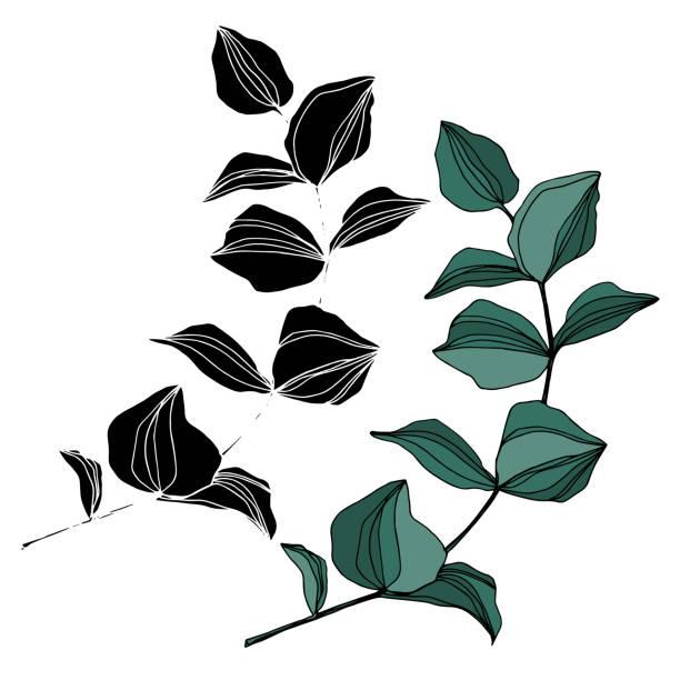 ベクトルユーカリの木の葉。黒と白の刻印インクアート。孤立したユーカリのイラスト要素。 - ウクライナ点のイラスト素材/クリップアート素材/マンガ素材/アイコン素材