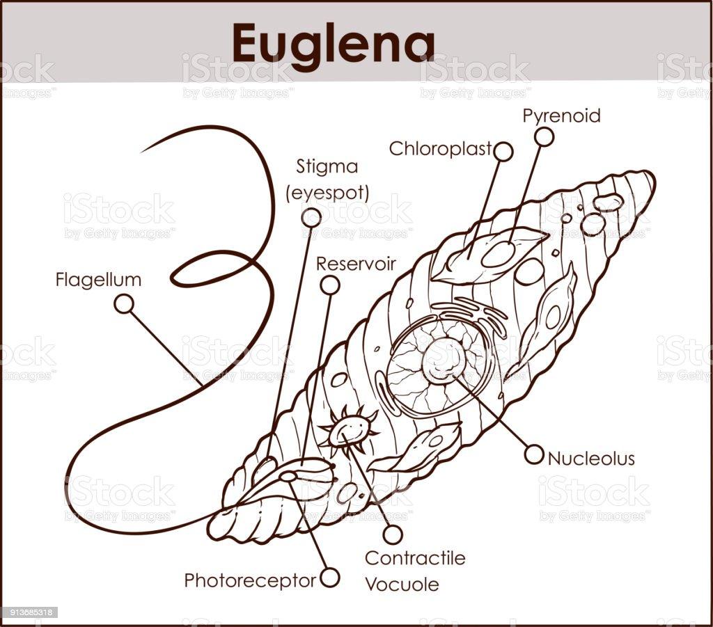 Vektor Euglena Querschnitt Diagramm Repräsentative Protisten ...