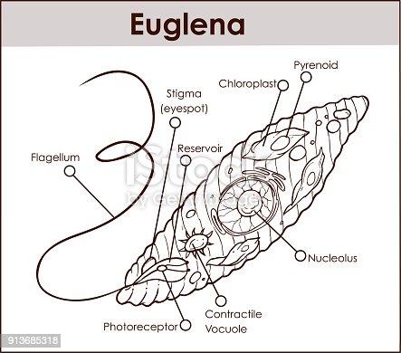 Vector Euglena Cross Section Diagram Representative Protists
