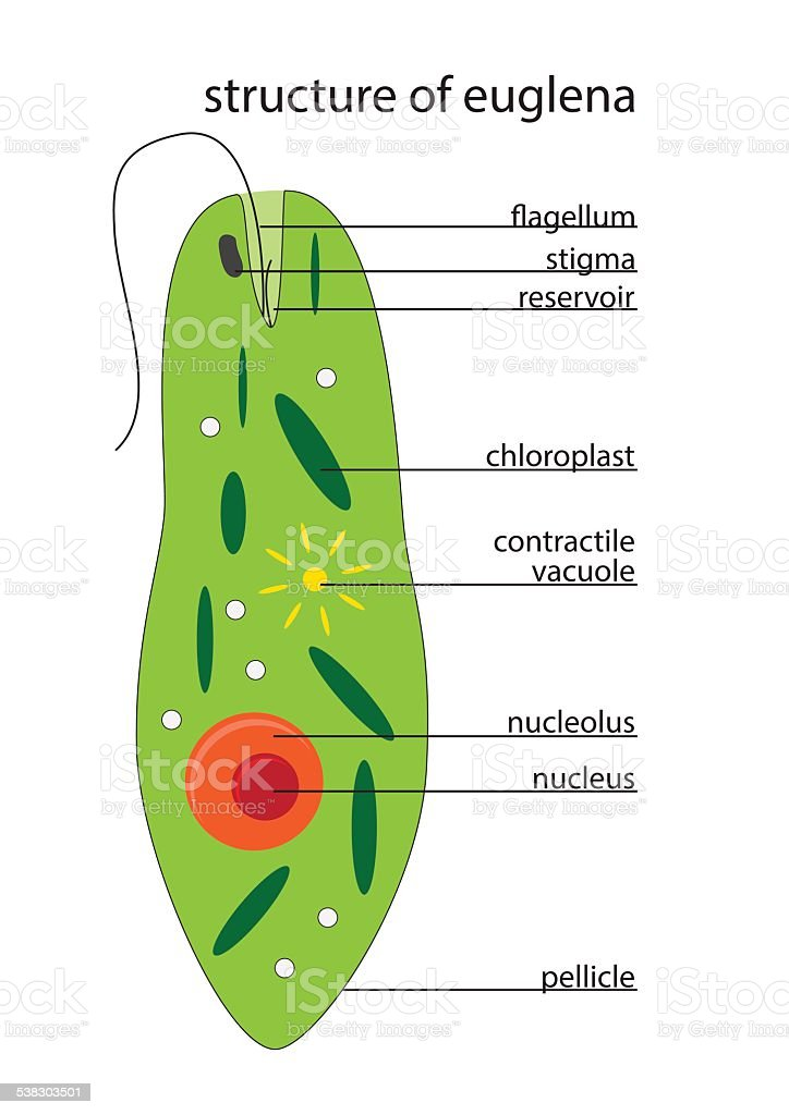 Spirostomum Diagram Labeled - Electrical Wiring Diagram House •