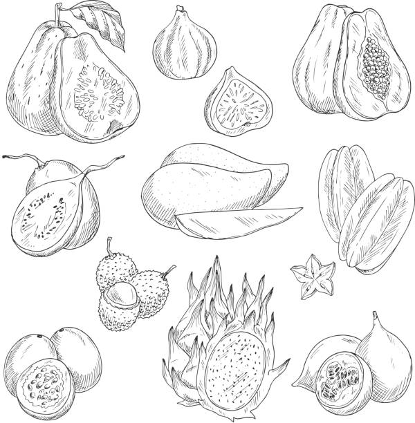 Vector exotic fruits sketch isolated icons Exotic tropical fruits sketch icons. Vector isolated set of guava, figs or papaya and avocado, feijoa or carambola starfruit and lichee, mangosteen or pithaya dragon fuit and mango fig stock illustrations