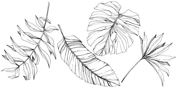 Vector Exotic tropical hawaiian summer. Black and white engraved ink art. Isolated leaf illustration element. Vector Exotic tropical hawaiian summer. Palm beach tree jungle botanical leaves. Black and white engraved ink art. Leaf plant botanical garden floral foliage. Isolated leaf illustration element. close up stock illustrations