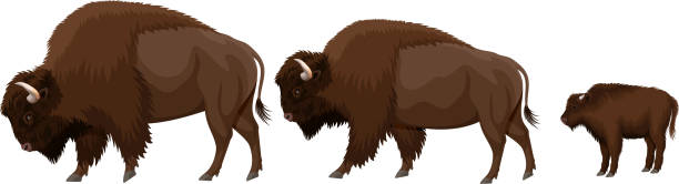 vector family of brown zubr buffalo bisons with kid vector family of brown zubr buffalo bisons with kid american bison stock illustrations