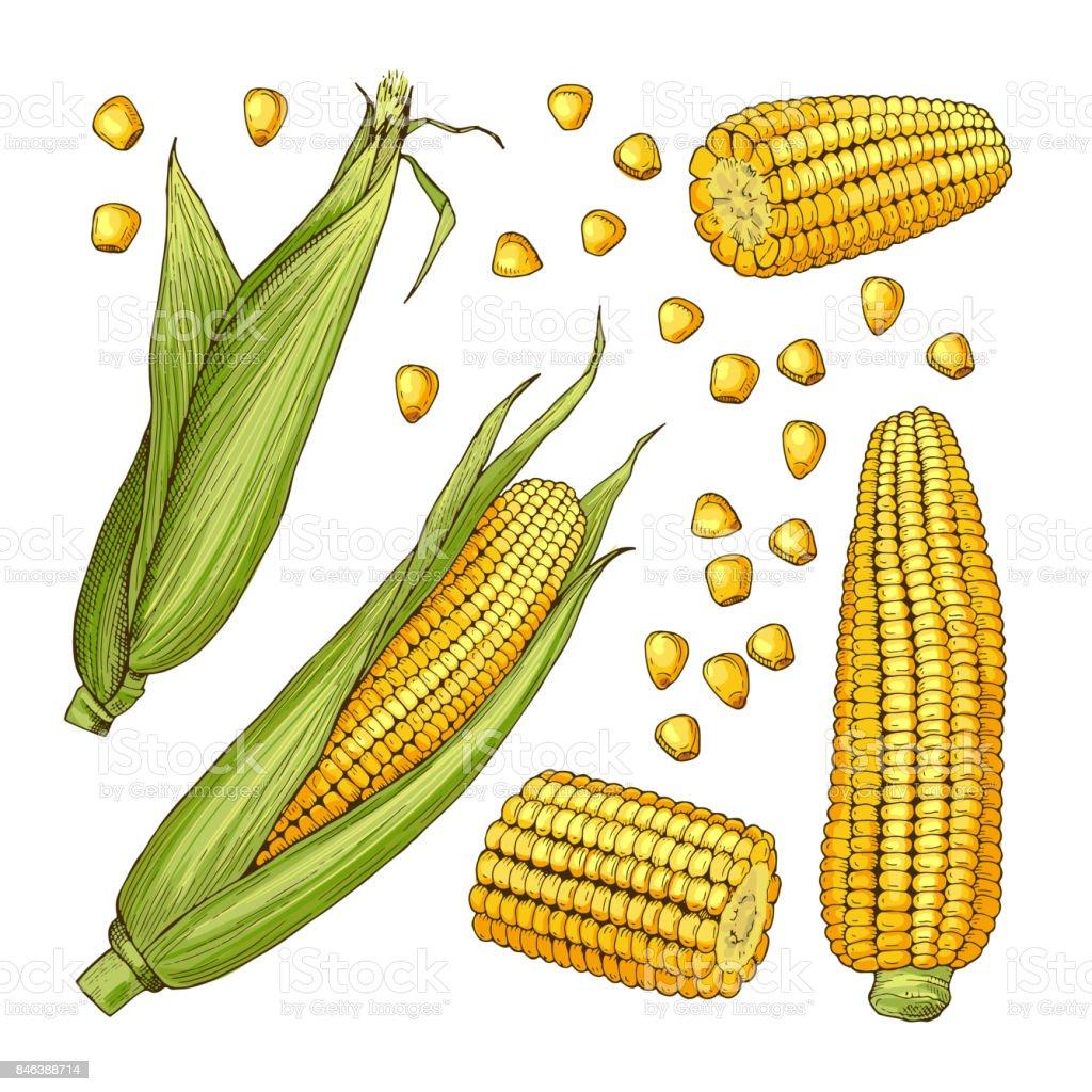 Vector farm illustrations. Different sides of corn vector art illustration