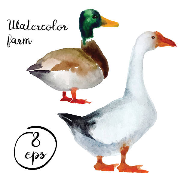 Vector farm poultry duck and goose Vector farm poultry watercolor isolated on white background. Vector duck and goose for art, logo, banner, emblem and others goose bird stock illustrations