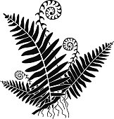 A vector illustration of a fern with new growth curls in black and white. An EPS file and a large jpg are included i this download.
