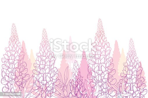 Vector field of outline pastel pink Lupin or Lupine flower bunch, bud and ornate leaves isolated on white background. Contour decorative plant Lupin for summer decor.