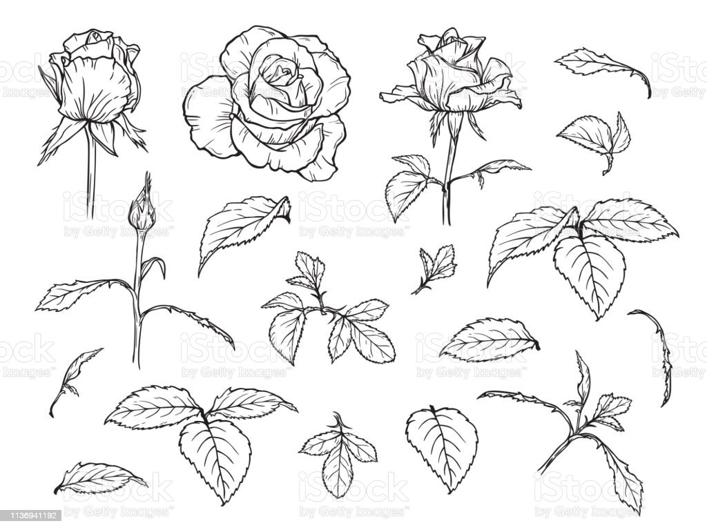 Vector Flowers And Leaves Set Hand Drawn Rose Flower Bud And Leaf Sketch Elements Of Roses Isolated On White Background Stock Illustration Download Image Now Istock