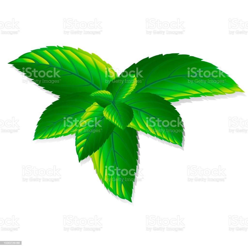 les feuilles de menthe fraîche de vecteur sur un fond blanc arôme