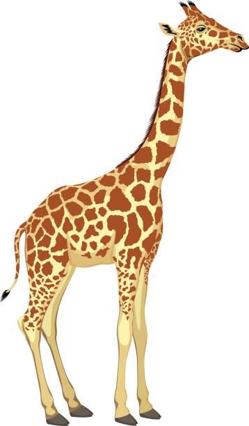 Top 60 Giraffe Clip Art, Vector Graphics and Illustrations ...